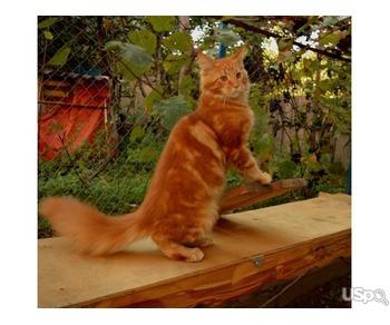 maine coon -роскошный котенок