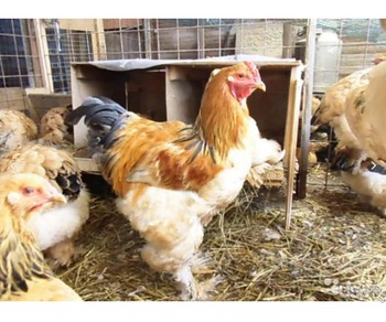 Brahma chickens, for sale. November 2018