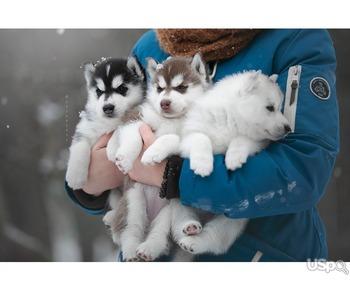 Щенки сибирский хаски\ Siberian husky puppies